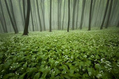 Forest with fog in the spring