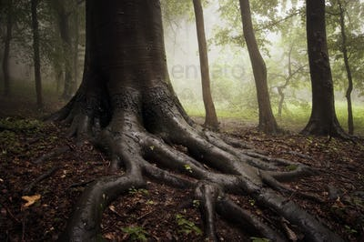 Tree with giant roots in enchanted woods