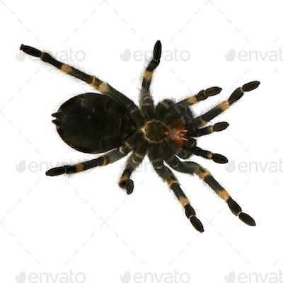 Mexican redknee tarantula's bottom