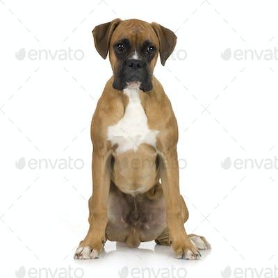 puppy Boxer (5 months)