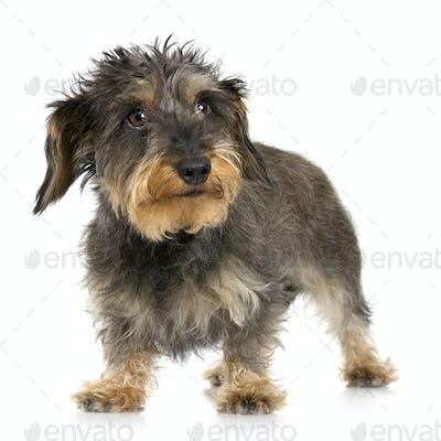 Coarse haired Dachshund (3 years)