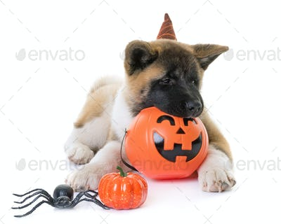 puppy american akita and halloween