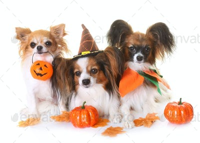 young papillon dogs, chihuahua and halloween