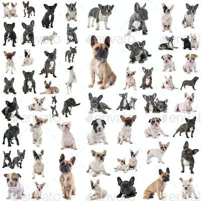 group of french bulldog