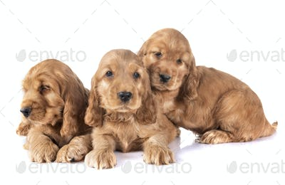 puppies cocker spaniel