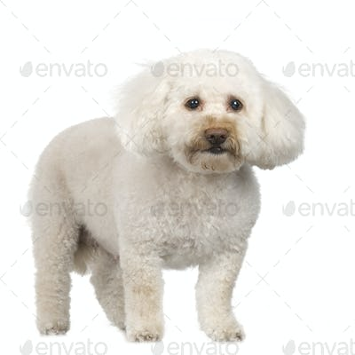 Poodle (11 years)