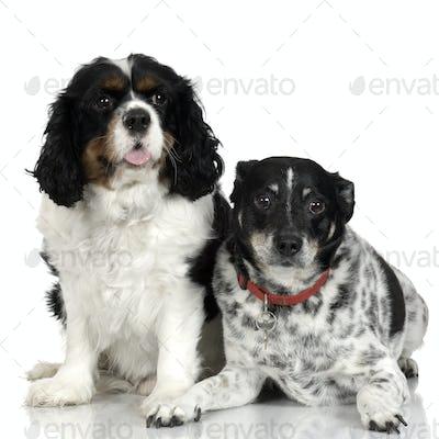 Bastard and Cavalier King Charles Spaniel