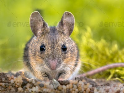 Frontal portrait of Cute Wood mouse