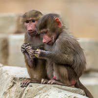 Two young Hamadryas baboons
