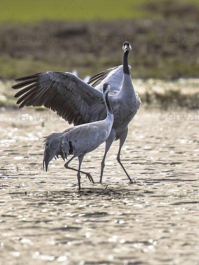 Courtship Eurasian crane