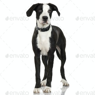 puppy American Staffordshire terrier crossed with a bernese moutain dog (7 months)