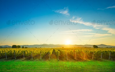Bolgheri and Castagneto vineyards sunrise backlight. Maremma Tus