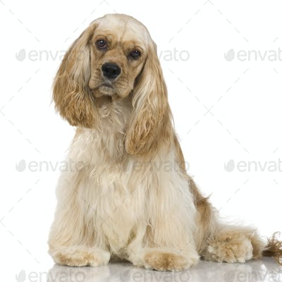 American Cocker Spaniel (1 year)