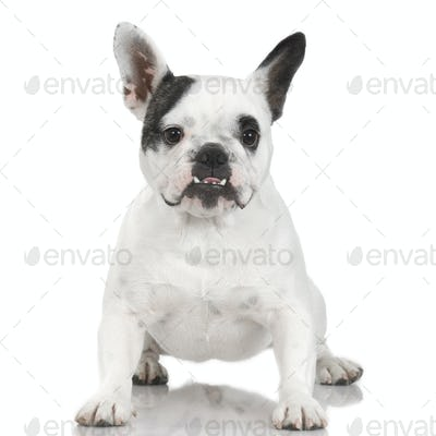 French Bulldog (1 year and 4 months)