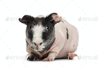 Front view of hairless guinea pig, isolated on white