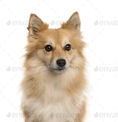 Close-up of a Pomeranian, isolated on white