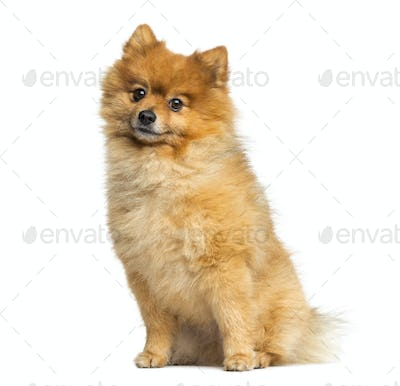 Pomeranian sitting, 5 years old, isolated on white