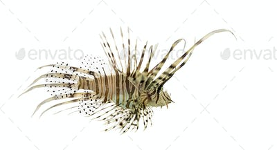 Side view of a red lionfish isolated on white