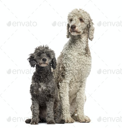 Poodle 3 and 6 years old sitting , isolated on white