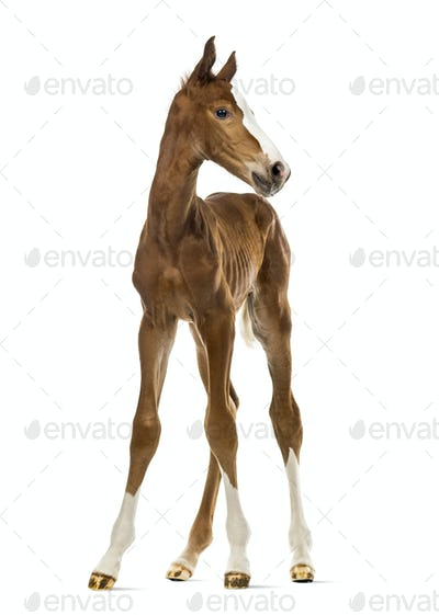 Front view of a foal isolated on white