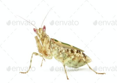 Female flower mantis - Creobroter gemmatus, isolated on white