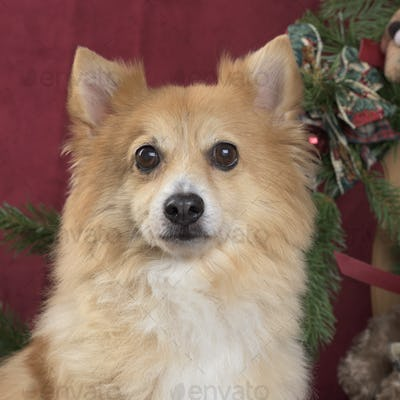 Close-up of a German spitz in Christmas decoration