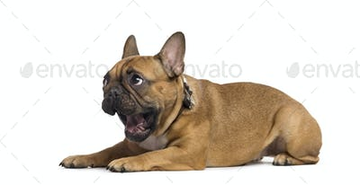 French Bulldog lying and yawning, isolated on white