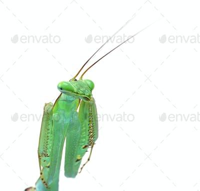 close-up on a praying mantis - Macromantis ovalifolia