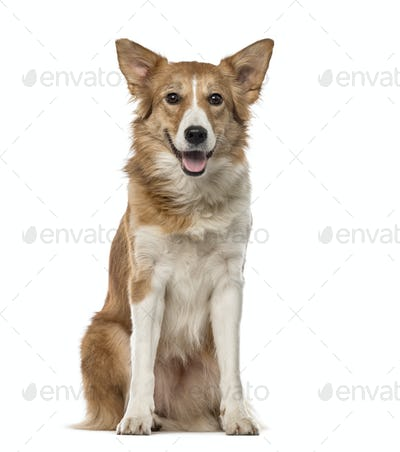 Border Collie (4 years old)