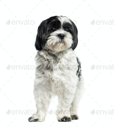 Shih Tzu standing, 2 years old, isolated on white