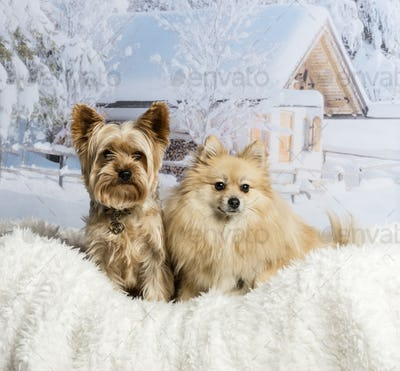 Pomeranian and Yorkshire Terrier sitting together in winter scene