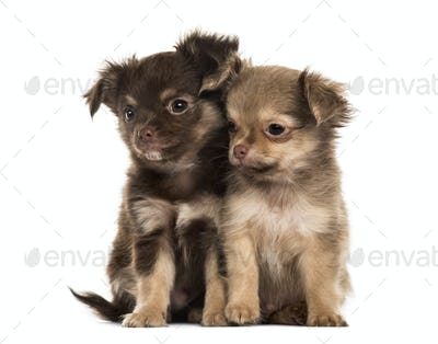 Two puppies chihuahua, 2 months sitting, isolated on white