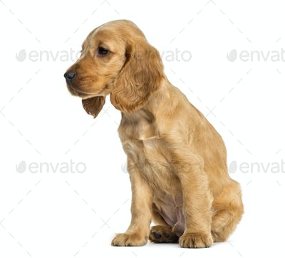 Puppy English Cocker Spaniel sitting, 9 weeks old, isolated on white