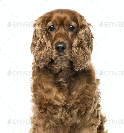 Close-up of an English Cocker Spaniel, 6 years old , isolated on white