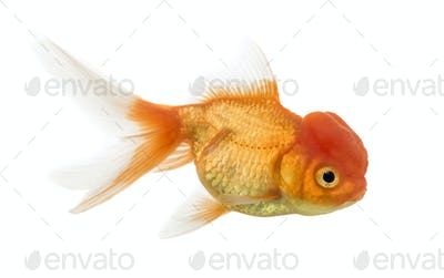 Side view of a Lion's head goldfish isolated on white