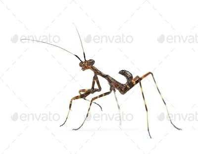 Young praying Mantis -  Miomantis binotata, isolated on white