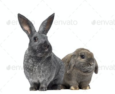 Argente rabbit and Holland Lop rabbit isolated on white