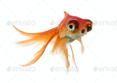 Goldfish swimming islolated on white