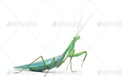 Male praying mantis - Macromantis ovalifolia, isolated on white