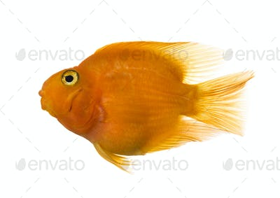 Side view of a parrotfish isolated on white