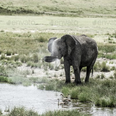 Elephant drinking in Serengeti National Park