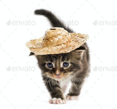 Maine coon kitten walking and wearing a hat