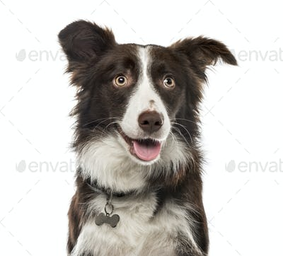 Close-up of a Border Collie , 15 months ols, isolated on white