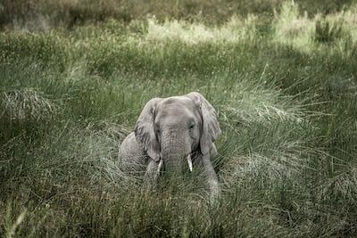 Elephant lying in Serengeti National Park
