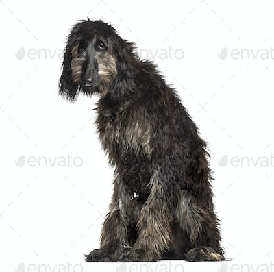 Afghan Hound sitting, 6 months old, isolated on white