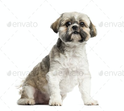 Lhasa Apso sitting, 4 years old, isolated on white