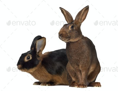 Black fire Rabbit and Belgian Hare isolated on white