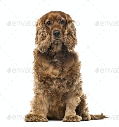 English Cocker Spaniel sitting, 6 years old , isolated on white