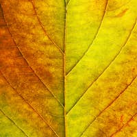 macro of autumn leaf