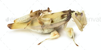Adult male et female orchid mantis isolated on white